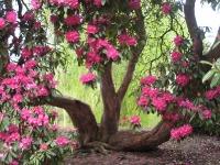 Rosa Rhododendron med jättestammar
