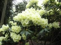 Mild fin gul Rhododendron.