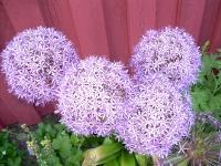 Stora Alliumbollar.