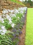 Afrikas blå lilja, fast vit